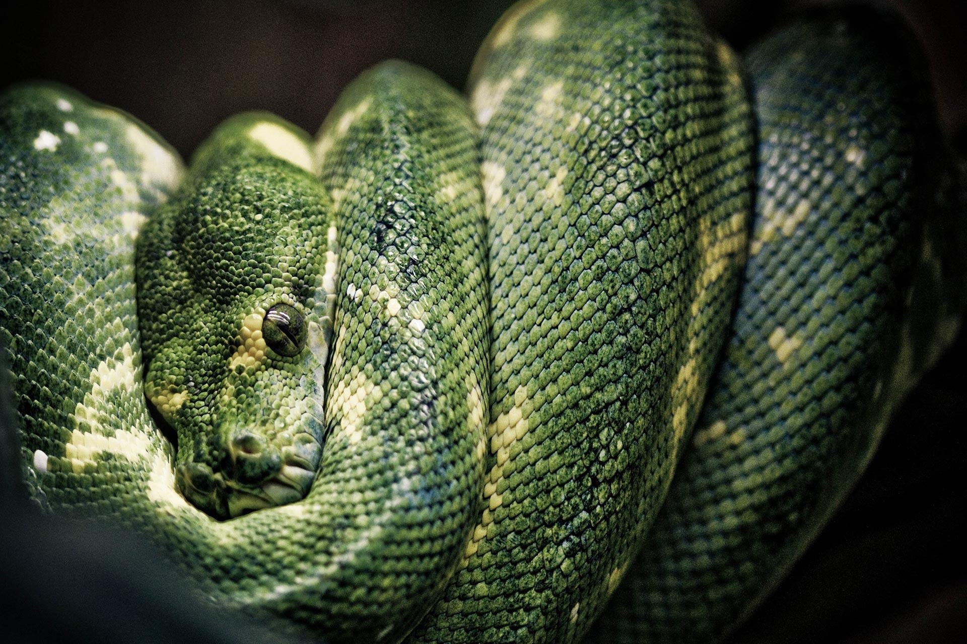 geoffrey-mitre-Serpent-bg